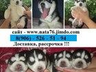 Изображение в Собаки и щенки Продажа собак, щенков Продаются щеночки симпотяги-сибирские хаски! в Иваново 0