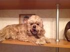 Уникальное foto Вязка собак Ищем мальчика для вязки 38338996 в Иваново
