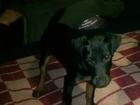 Фотография в Потерянные и Найденные Потерянные 03. 02. пропал щенок ягдтерьера девочка 4, в Иваново 0