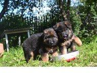 отличные щенки немецкой овчарки родам классных щенков немецкой овчарки дата рожд
