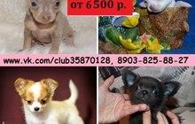 В продаже щеночки чихуахуа и той-терьера