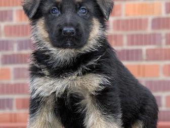 Новое фотографию Продажа собак, щенков приму в дар или куплю не дорого щенка 34959913 в Иваново