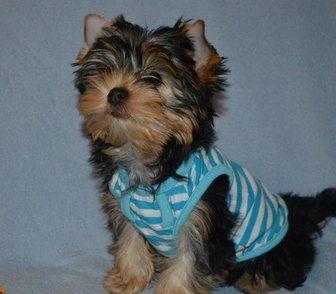 Изображение в Собаки и щенки Продажа собак, щенков Продам мальчика йоркширского терьера (3 месяца) в Иваново 12000