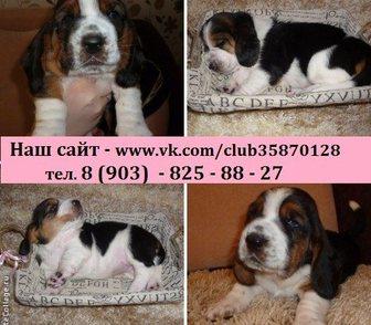 Фотография в Собаки и щенки Продажа собак, щенков БАССЕТ-ХАУНД чистокровных щеночков продам в Иваново 0