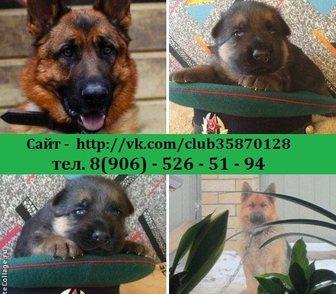 Изображение в Собаки и щенки Продажа собак, щенков НЕМЕЦКОЙ ОВЧАРКИ чистокровных крупных добротных в Иваново 0