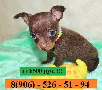 Фото в Собаки и щенки Продажа собак, щенков ТОЙ-ТЕРЬЕРА чистокровных щеночков продам в Иваново 0