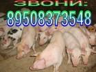 Смотреть фотографию  продаются поросята 34060614 в Ижевске