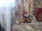 Фото в Собаки и щенки Вязка собак Без родословной, медицинский паспорт есть в Ижевске 0