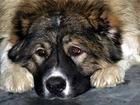 Фото в   Найдена большая, лохматая собака, порода в Ижевске 0