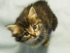 Фотография в Кошки и котята Продажа кошек и котят Милые, добрые, игривые котята. Возраст 1, в Ижевске 0