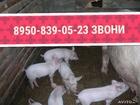 Скачать бесплатно foto Другие животные Продаются большие белые поросята 37358950 в Ижевске
