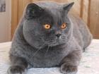 Просмотреть изображение Вязка Чистокровный британский кот с документами ждет в гости на вязку 38037339 в Ижевске