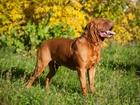 Просмотреть фото Вязка собак Предлагается кобель бордоского дога для вязки 66343189 в Ижевске
