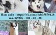 Хаски чёрно-белых голубоглазых щеночков продам