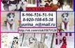 Сибирской хаски славные малыши продаются!