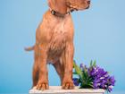 Фото в Собаки и щенки Продажа собак, щенков Продаются щенки Венгерской легавой д. р. в Ярославле 45000