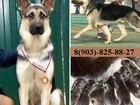 Фото в Собаки и щенки Продажа собак, щенков ОВЧАРКИ чистокровных крупных мощных щеночков в Ярославле 111
