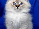 Свежее изображение  Сибирские котята 32594295 в Ярославле