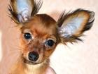 Просмотреть foto  щенки той терьера 32598928 в Ярославле