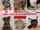 Фотография в Собаки и щенки Продажа собак, щенков Той-терьера чистокровных красивеееенных щеночков в Ярославле 0