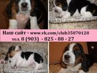 Изображение в Собаки и щенки Продажа собак, щенков БАССЕТ-ХАУНД чистокровных щеночков продам в Ярославле 0