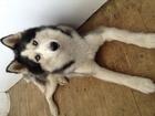 Фотография в Собаки и щенки Вязка собак Предлагается молодой , здоровый кобель породы в Ярославле 0