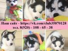 Фото в Собаки и щенки Продажа собак, щенков ХАСКИ черно-белых красивееенных щеночков в Ярославле 1