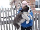 Фото в Собаки и щенки Продажа собак, щенков Продаются щенки сенбернара. д. р. 27. 08. в Кемерово 15000