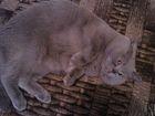 Фото в Потерянные и Найденные Найденные Пропал британский кот 25. 02. 2016г. приблизительно в Ярославле 0