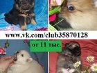 Фото в Собаки и щенки Продажа собак, щенков ШПИЦА чистокровных и не чистокровных щеночков, в Ярославле 11000