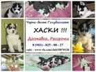Фото в Собаки и щенки Продажа собак, щенков Продам голубоглазых черно-белых щенков сибирской в Ярославле 0