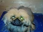 Свежее фото Вязка собак Мальчик пекинес ищет девочку для вязки, 37742800 в Ярославле
