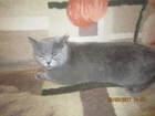 Просмотреть изображение  Ищем британского кота для вязки 38592134 в Ярославле