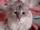 Уникальное фото Вязка Невская маскарадная кошечка ищет жениха 38869279 в Ярославле