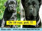 Фотки и картинки Кане-корсо смотреть в Ярославле