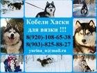 Новое фотографию Вязка собак Красивые черно-белые кобели хаски для вязки 45185791 в Ярославле