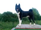 Увидеть фотографию Вязка собак Кобель русско-европейской лайки ищет подружку, 45602692 в Ярославле