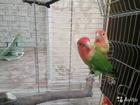 Просмотреть фотографию Птички и клетки Пара неразлучников вместе с клеткой, 51447134 в Ярославле