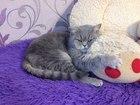 Смотреть foto Вязка кошек Шатландская прямоухая кошечка 51831334 в Ярославле