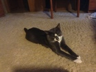 Скачать фото  Ищу кошечку для вязки с молодым котом 67756284 в Ярославле