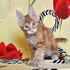 Котик мейн-кун из питомника Огненный Хвост