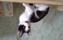 черненький с белым котенок, 2,5 мес
