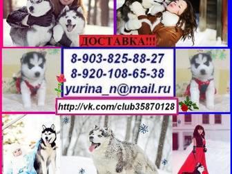 Фотки и картинки Сибирский хаски смотреть в Ярославле