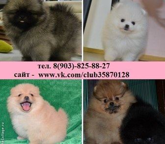 Изображение в Собаки и щенки Продажа собак, щенков Шпица чистокровных красивеееенных щеночков в Ярославле 123