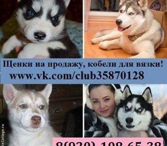 Фото в Собаки и щенки Продажа собак, щенков ХАСКИ породных чистокровных щеночков разных в Ярославле 0
