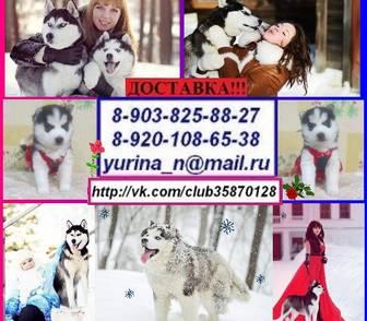 Изображение в Собаки и щенки Продажа собак, щенков ЧЕРНО-БЕЛЫХ ГОЛУБОГЛАЗЫХ щеночков хаски продам! в Ярославле 0