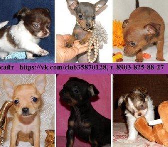 Изображение в Собаки и щенки Продажа собак, щенков Чихуахуа чистокровных щеночков, Той-терьера в Ярославле 4000