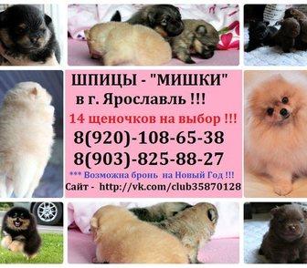 Изображение в Собаки и щенки Продажа собак, щенков Шпица чистокровных щеночков для души и выставок в Ярославле 0