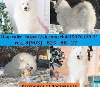 Изображение в Собаки и щенки Продажа собак, щенков Красивенных, белоснежных щеночков самоедской в Ярославле 0