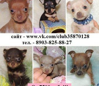 Фотография в Собаки и щенки Продажа собак, щенков ТОЙ-ТЕРЬЕРА чистокровных щеночков продам в Ярославле 0